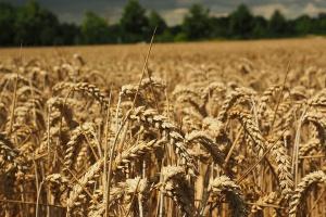 Ceny zbóż bez zmian