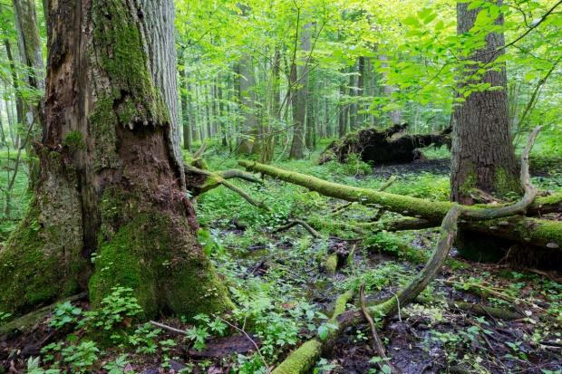 UNESCO przyjrzy się planom MŚ dot. ratowania Puszczy Białowieskiej
