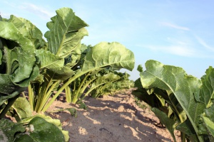 Zeszłotygodniowe opady poprawiły stan wielu upraw