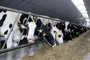 Nowe badanie krwi w walce z gruźlicą bydła