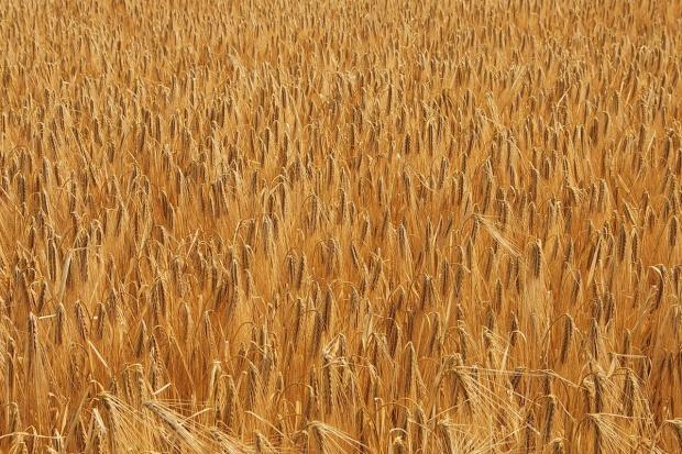 Rosja: Rosną prognozy tegorocznych zbiorów zbóż