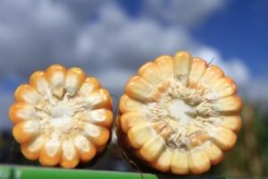 Nowy szczyt ceny kukurydzy