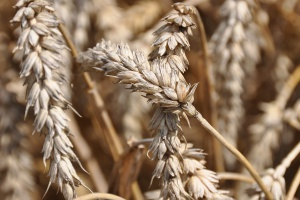 Zwróć uwagę na czerń zbóż