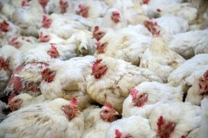 W Hongkongu wybito tysiące ptaków po stwierdzeniu przypadku ptasiej grypy