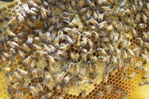 Podkarpackie: Pogoda przyczyną słabych zbiorów miodów wiosennych
