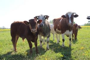 Jaką rasę bydła mięsnego wybrać?