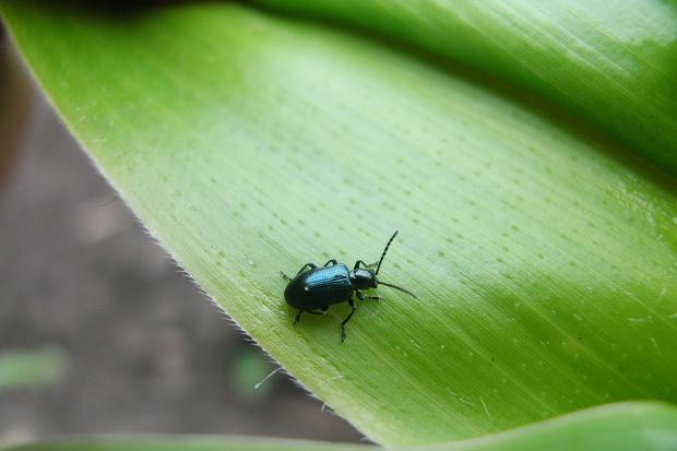 Skrzypionki coraz częściej zasiedlają kukurydzę