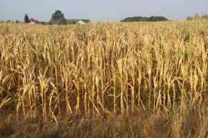 Susza rolnicza tematem posiedzenia Zespołu Zarządzania Kryzysowego MRiRW
