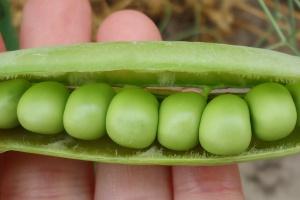 Plantacjom grochu nadal zagraża pachówka strąkóweczka