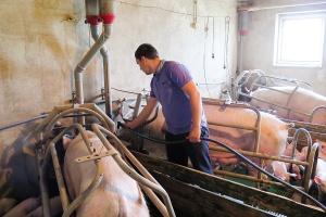 Stres cieplny poważnym zagrożeniem dla loch karmiących