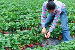 Pełnia sezonu truskawkowego: Owoców jest mniej, ale ich jakość wysoka