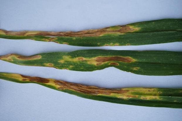 Ochrona pszenicy ozimej w okresie liścia flagowego