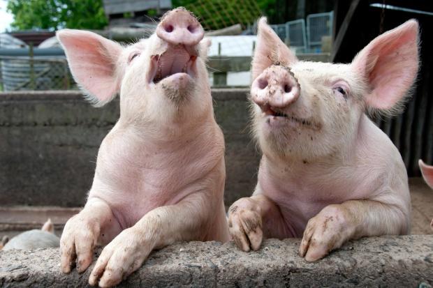 Dania: Lekki spadek eksportu wieprzowiny w I kwartale br.