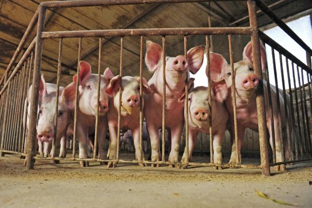 MRiRW przyznaje, że ognisko ASF u świń komplikuje rozmowy o eksporcie