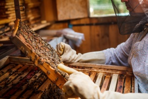Miejskie pszczoły dają dużo miodu wysokiej jakości