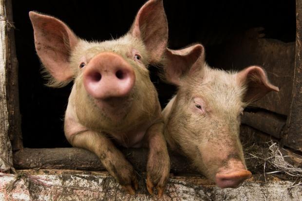 Ceny świń wciąż w górę