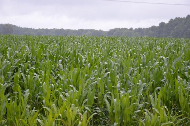 Ostatni moment na dokarmienie dolistne kukurydzy