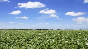 Innowacyjny program ochrony ziemniaka przed chorobami
