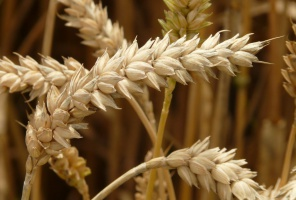 Amerykańska pszenica najtańsza od 6 lat