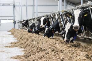 Żywienie krów a szczegółowy skład mleka
