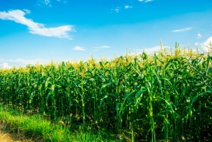 Mocny spadek ceny kukurydzy