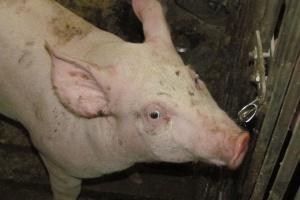 Zapewnij świniom swobodny dostęp do wody