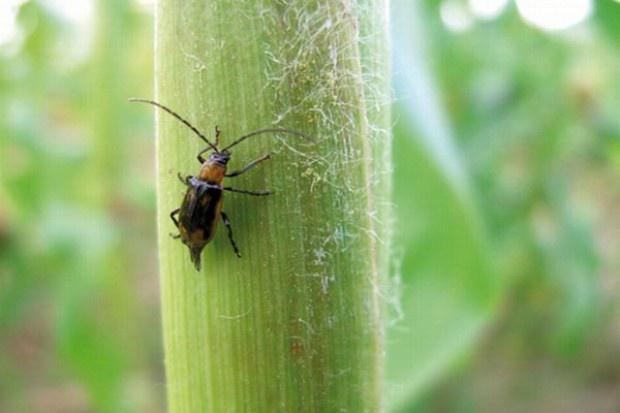 Bardzo wczesny pojaw chrząszczy stonki kukurydzianej