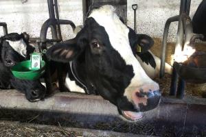 Polska: Produkcja mleka wciąż rośnie