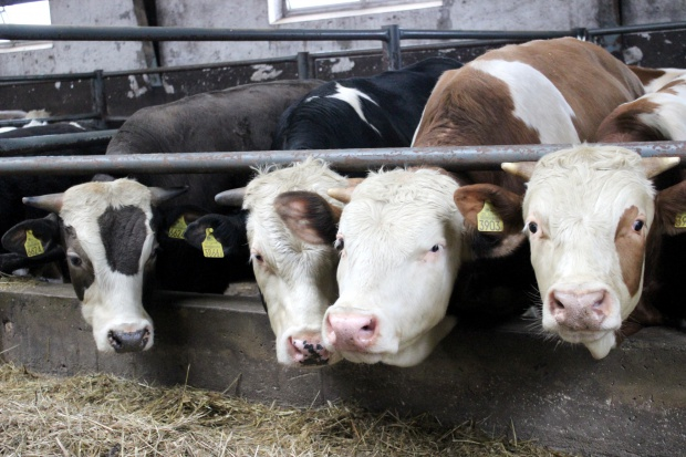 Spadek cen skupu bydła