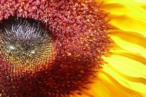 Coraz więcej słonecznika na świecie