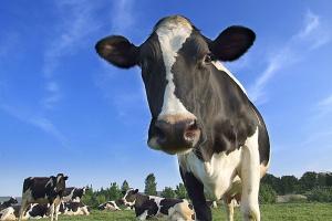 Spada pogłowie krów mlecznych w Polsce
