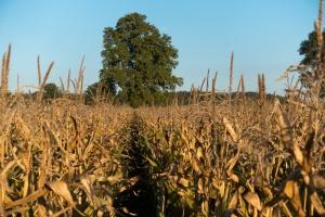 Copa-Cogeca prognozuje spadki zbiorów zbóż i oleistych