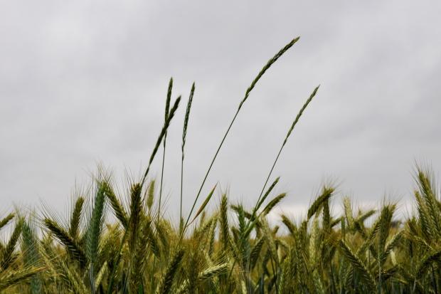Zwalczanie perzu w dojrzewających łanach zbóż