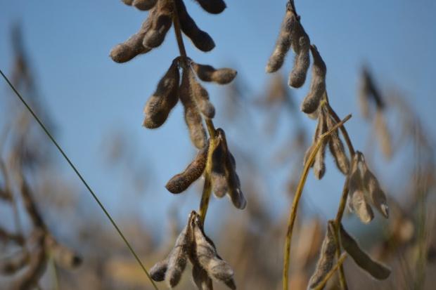 IGC: Lipcowa prognoza dla światowego rynku zbóż i soi