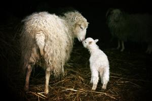 Hodowca ze Szczyrku odpowie za zagłodzenie 53 owiec