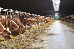 Nawet duże gospodarstwa w Danii i Holandii dokładają do mleka