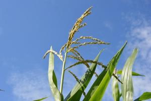 PZPK: W tym sezonie zbiory kukurydzy będą lepsze od ubiegłorocznych