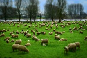 IERiGŻ-PIB: Spadkowa tendencja cen owiec i jagniąt w UE trwa nadal