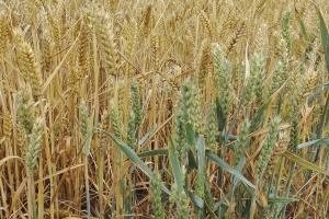 Nierównomierne dojrzewanie zbóż