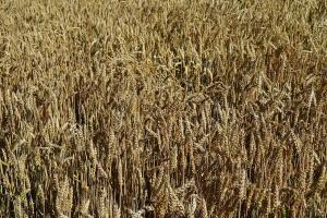 USDA oczekuje rekordowych światowych zbiorów pszenicy