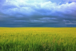 Deszczowe żniwa mogą wpłynąć na zawartość mikotoksyn w paszach