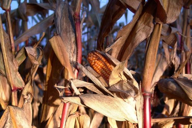 USDA: Nieco niższa  produkcja zbóż paszowych w sezonie 2016/2017