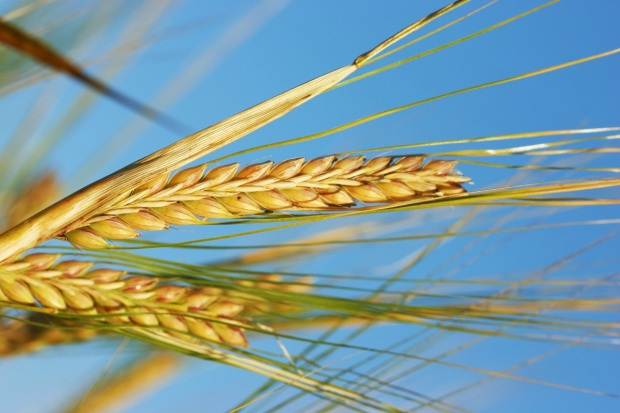 Spadek cen zbóż