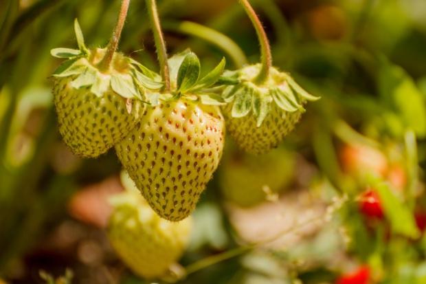 Niemcy: Mniej truskawek, więcej szparagów