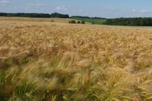 Niemcy: Zbiory jęczmienia ozimego bez rewelacji