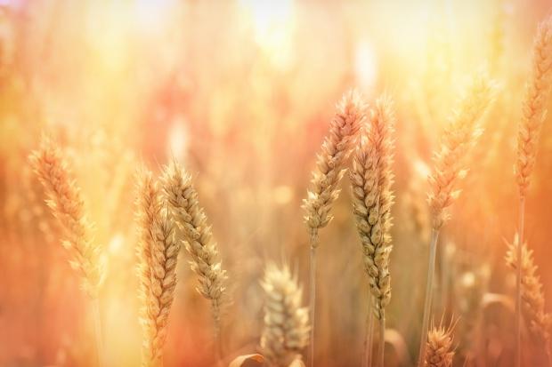 Mocny wzrost ceny pszenicy na giełdzie w Paryżu