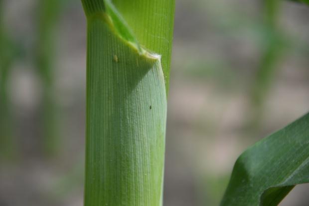 Wciornastki w kukurydzy