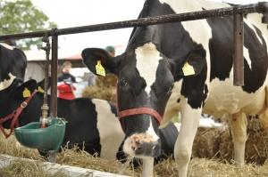 Cena mleka w skupie poniżej 1 zł/l