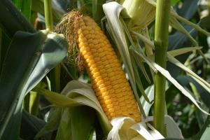 Tak dla kukurydzy GMO w Pakistanie