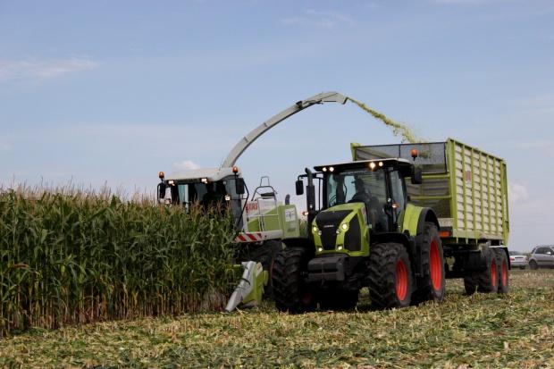 Kiszonka z tegorocznej kukurydzy będzie mniej energetyczna